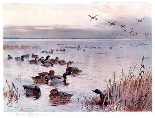 Archibald Thorburn Mallard on the Lake at Sandringham
