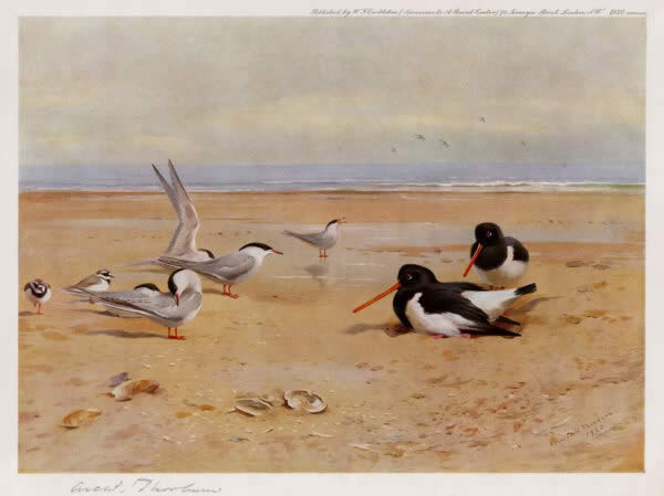 Archibald Thorburn Oyster Catchers Terns and Ringed Plovers