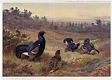 Archibald Thorburn Blackgame at the Lek painting