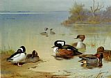 Archibald Thorburn Buffel headed duck American green winged teal and hooded merganser painting