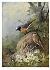 Archibald Thorburn Cock and Hen Redstarts painting