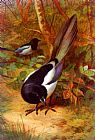 Archibald Thorburn Magpies painting