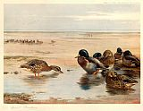 Archibald Thorburn Mallard on the Shore painting