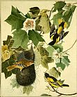 John James Audubon Baltimore Oriole painting