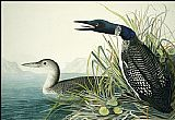 John James Audubon Northern Diver(1) painting