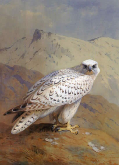 Archibald Thorburn A Greenland or Gyr Falcon