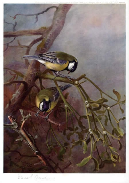 Archibald Thorburn Great Tits and Mistletoe